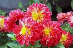 Blumen von Dahlien in den brennenden roten gelben Farben Lizenzfreie Stockfotos