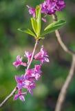 Blumen von Daphne-mezereum allgemein bekannt als spurge Olive stockbild