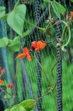 Blumen von dekorativen Edelwicken auf einem Gitter stockfoto