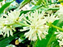 Blumen von Dracaena fragrans lizenzfreie stockfotos