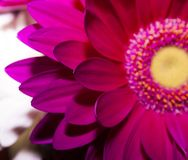Blumen von empfindlichen Gänseblümchen in meiner Küche stockfoto