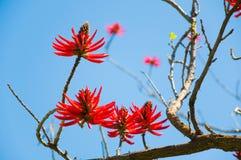 Blumen von Erythrina Speciosa stockfotografie