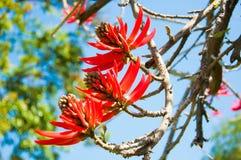 Blumen von Erythrina Speciosa stockfotos