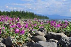 Blumen von Fireweed auf den Kopfsteinen durch Fluss stockfotos