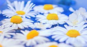 Blumen von Gänseblümchen oder von Chrysanthemennahaufnahme Lizenzfreies Stockfoto