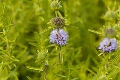 Blumen von Hirsche pennyroyal Lizenzfreies Stockbild
