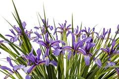 Blumen von Iris pseudacorus Nahaufnahme, lokalisiert auf weißem backgrou Lizenzfreie Stockfotos