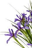 Blumen von Iris pseudacorus Nahaufnahme, lokalisiert auf weißem backgrou Lizenzfreie Stockfotografie