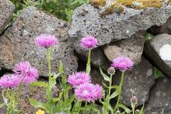 Blumen von Island Lizenzfreies Stockfoto