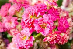 Blumen von Kalanchoe Stockfoto
