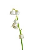 Blumen von Mai-Lilie 15 Lizenzfreie Stockfotos
