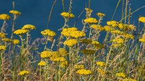 Blumen von Makro Fernleaf-Schafgarbe oder Achillea-filipendulina, selektiver Fokus, flacher DOF Stockfoto