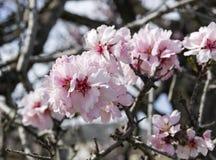 Blumen von Mandeln, Nahaufnahme Stockfotos