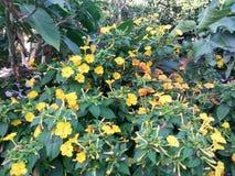 Blumen von Mirabilis jalapa lizenzfreie stockfotos