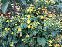 Blumen von Mirabilis jalapa stockfotos