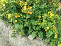 Blumen von Mirabilis jalapa stockfoto
