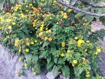 Blumen von Mirabilis jalapa lizenzfreie stockbilder