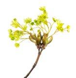 Blumen von Norwegen-Ahorn lokalisiert auf weißem Hintergrund Stockfotografie
