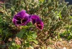 Blumen von Pansies auf einem Hintergrund des üppigen Grüns Lizenzfreie Stockfotos