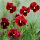 Blumen von Pansies der roten Farbe Lizenzfreie Stockfotografie