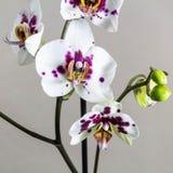 Blumen von Phalaenopsis auf einem grauen Hintergrund Quadratische Schablone für Ihr Design lizenzfreies stockfoto
