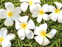 Blumen von Plumeria auf Grasgrünhintergrund, Leelavadee Stockfotos
