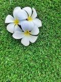 Blumen von Plumeria auf Grasgrünhintergrund, Leelavadee Lizenzfreies Stockbild