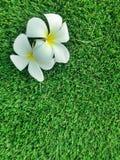 Blumen von Plumeria auf Grasgrünhintergrund, Leelavadee Lizenzfreies Stockfoto