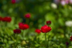 Blumen von roten Butterblumeen lizenzfreie stockfotografie