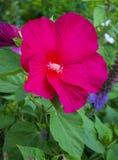 Blumen von roten Hibiscusen Lizenzfreies Stockfoto