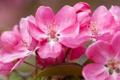 Blumen von Sakura Lizenzfreie Stockfotografie