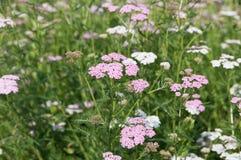 Blumen von Schafgarbe u. von x28; Lat Achillea-millefolium& x29; Lizenzfreies Stockfoto