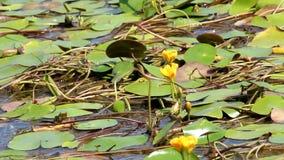 Blumen von Seerosen auf dem Wasser stock video