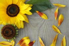 Blumen von Sonnenblumen auf hölzernem Hintergrund lizenzfreies stockfoto