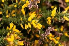 Blumen von Stechginster Ulex europaeus Stockfotografie