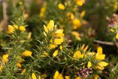 Blumen von Stechginster Ulex europaeus Stockfotos