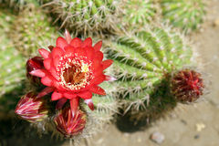 Blumen von Succulents Stockfotos