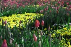 Blumen von Tulpen in den verschiedenen Farben im Garten stockfotos