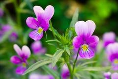 Blumen von Veilchen Stockfotos