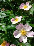 Blumen von wildem stiegen Lizenzfreie Stockfotos