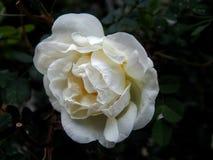 Blumen von wildem stiegen Stockfotografie