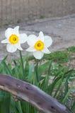 Blumen von wilden Narzissen Stockbild