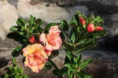 Blumen-Wüstenrose (Adenium) Stockfotografie