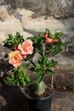 Blumen-Wüstenrose (Adenium) Lizenzfreie Stockfotos