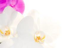 Blumen weiße Orchidee und Fuchsie Stockbilder