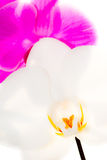 Blumen weiße Orchidee und Fuchsie Stockfoto