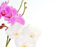 Blumen weiße Orchidee und Fuchsie Stockfotografie
