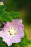 Blumen, weiche rosafarbene Blume Lizenzfreie Stockfotografie