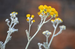 Blumen-Wermut Lizenzfreie Stockbilder