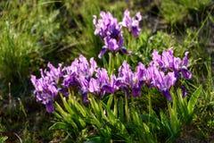 Blumen Wilde Blenden Seltene Feldblumen listeten im roten Buch auf Lizenzfreie Stockfotografie